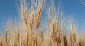 barley stalks  growing in a field