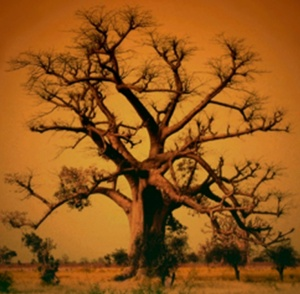 iroko tree 2